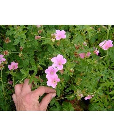 Geranium x oxonianum Wargrave Pink (1lt)