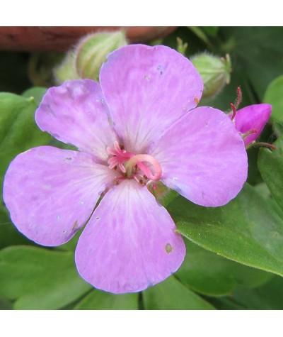 Geranium x cantabrigiense Cambridge (1lt)