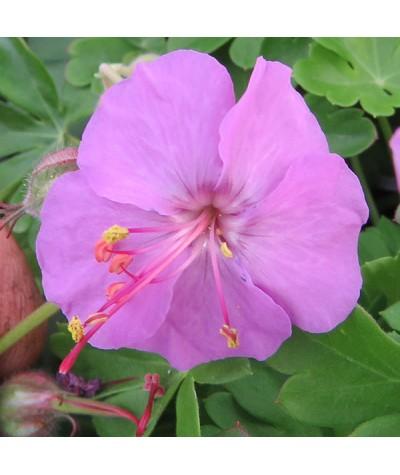 Geranium x cantabrigiense Karmina (1lt)