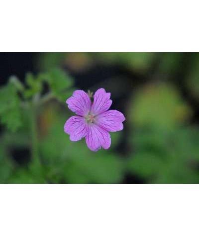 Geranium x oxonianum Claridge Druce (1lt)