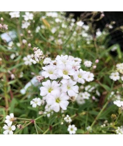 Gypsophila repens Filou White (1lt)