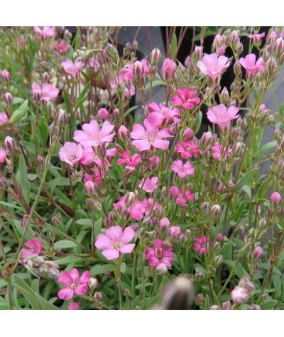 Gypsophila repens Rosea (1lt)