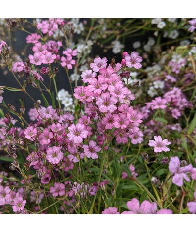 Gypsophila repens Filou Rose (1lt)