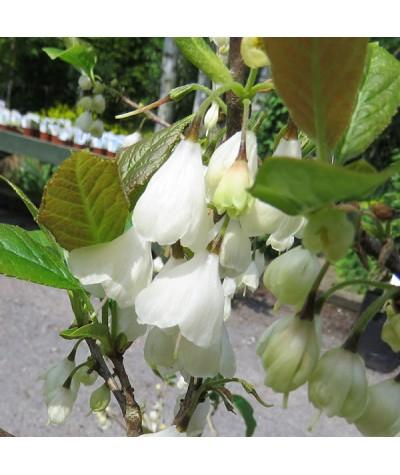 Halesia carolina Monticola Group (20lt)