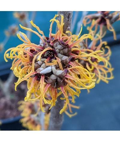 Hamamelis x intermedia Orange Beauty (12lt)