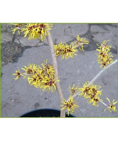 Hamamelis x intermedia Barmstedt Gold (3lt)