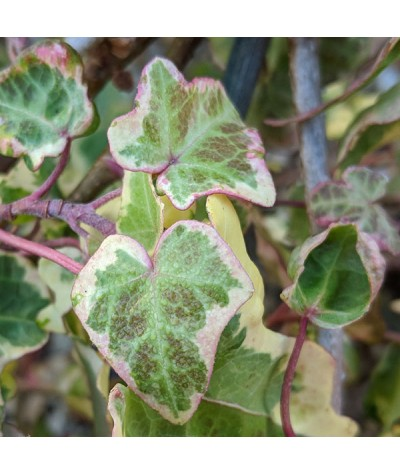 Hedera helix Midas Touch (2lt)