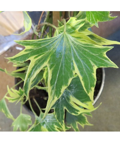 Hedera helix Yellow Ripple (7lt)