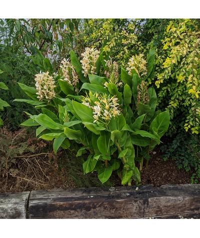 Hedychium flavescens (5lt)