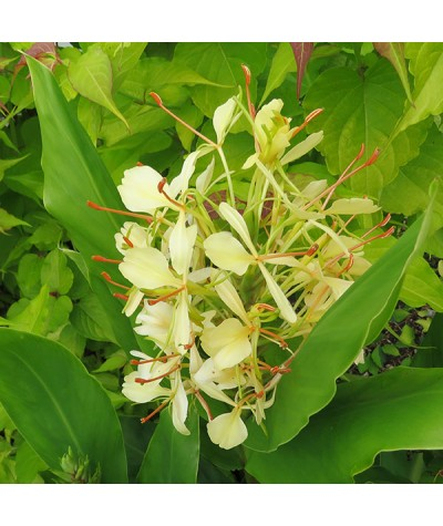 Hedychium flavescens (2lt)