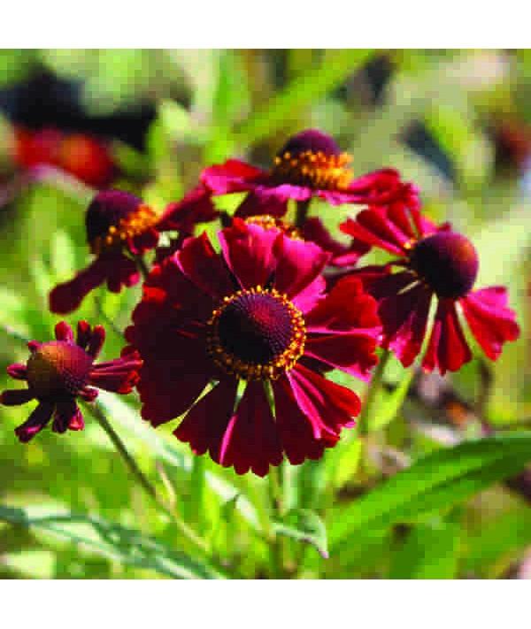 Helenium Autumnale Helena Red (1lt)
