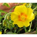 Helianthemum Ben Fhada