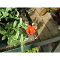 Helianthemum Henfield Brilliant (1lt)