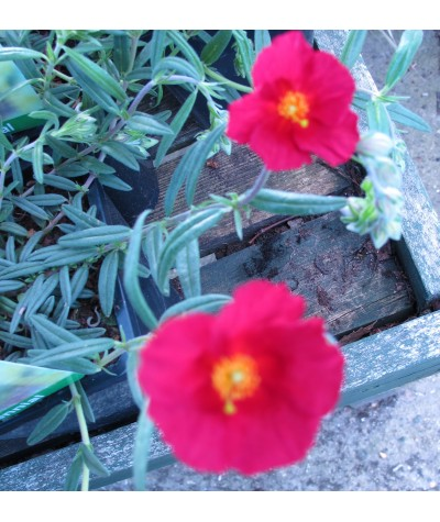 Helianthemum Supreme (1lt)