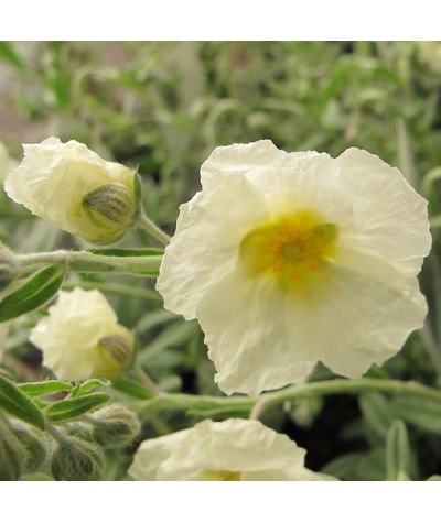 Helianthemum The Bride (1lt)