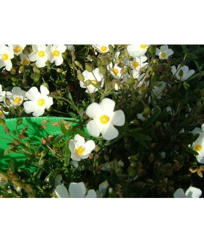 Helianthemum Fairy (1lt)