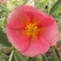 Helianthemum Wisley Pink (1lt)