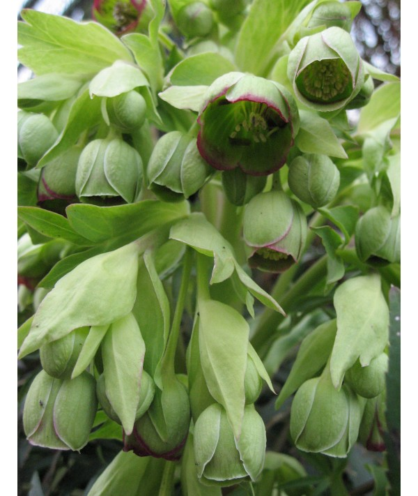 Helleborus foetidus (1.5lt)