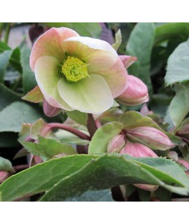 Helleborus White Beauty (3lt)