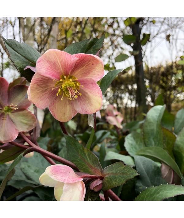 Helleborus Pink Frost