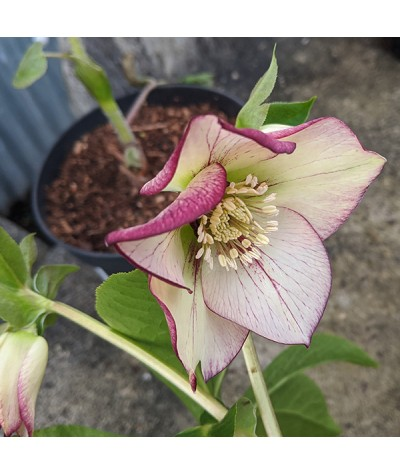Helleborus x hybridus Spring Promise Anja Oudolf (4.5lt)