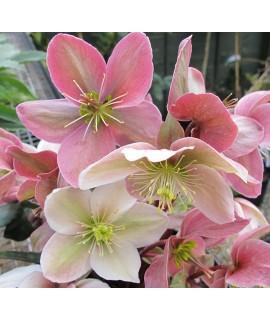 Helleborus x ericsmithii Winter Sunshine