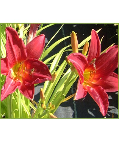 Hemerocallis Carolina Cranberry (1.5lt)