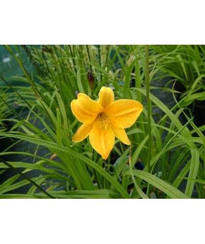 Hemerocallis Golden Chimes (1.5lt)