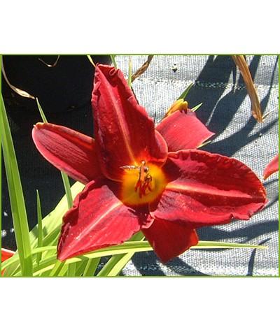 Hemerocallis Oriental Ruby (1.5lt)