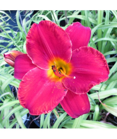 Hemerocallis Palace Guard (1.5lt)
