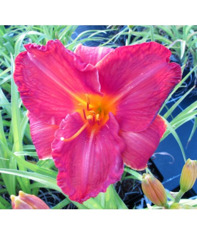 Hemerocallis Royal Rage (3lt)
