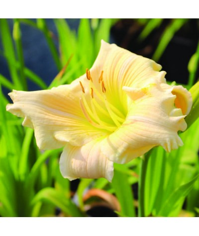Hemerocallis Shock Waves (1.5lt)