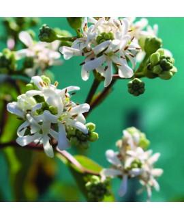 Heptacodium miconioides (7.5lt)