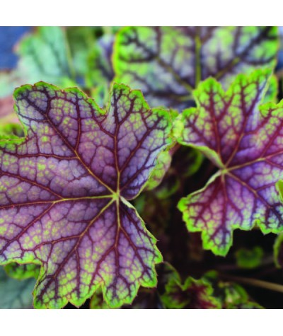 Heuchera Green Spice (1lt)