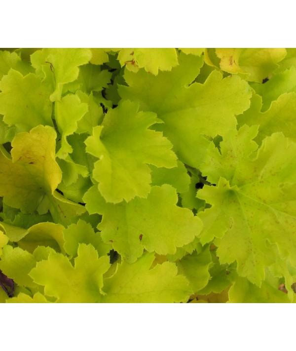 Heuchera Lime Marmalade (1lt)