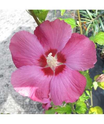 Hibiscus syriacus Woodbridge (3lt)