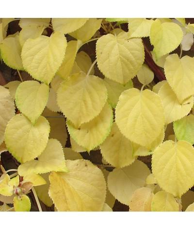 Hydrangea anomala petiolaris (3lt)