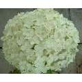Hydrangea arborescens Annabelle (2lt)