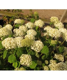 Hydrangea arborescens Incrediball (3lt)