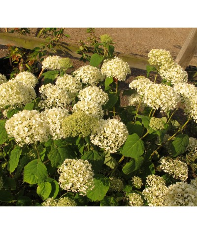 Hydrangea arborescens Incrediball (3lt)