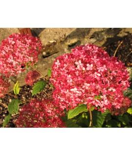 Hydrangea arborescens Invincibelle Spirit (7.5lt)