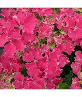 Hydrangea macrophylla Curly Sparkle Hot Pink (7.5lt)