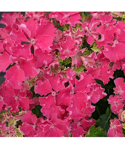 Hydrangea macrophylla Curly Sparkle Hot Pink (3lt)