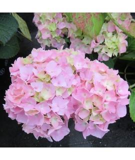Hydrangea macrophylla All Summer Beauty (3lt)