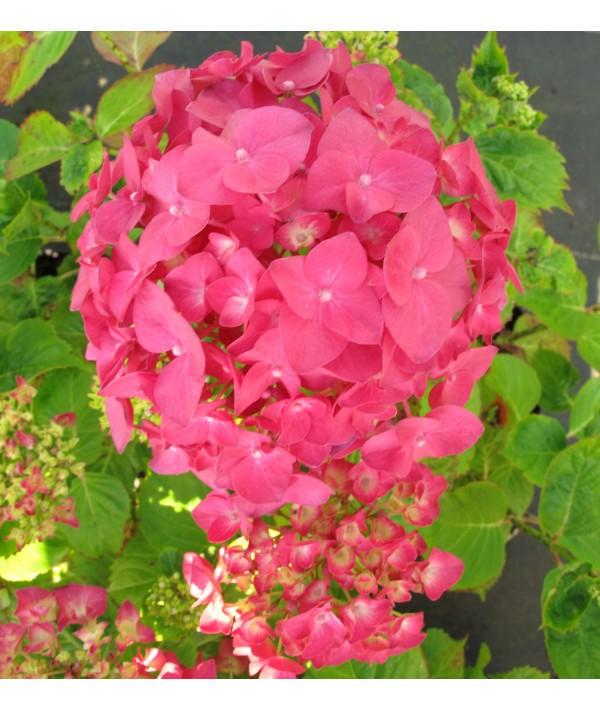 Hydrangea macrophylla Ami Pasquier (3lt)