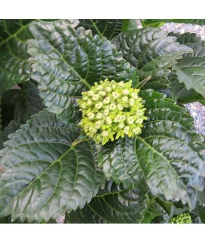 Hydrangea macrophylla Caipirinha (3lt)