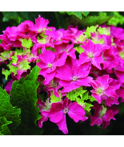 Hydrangea macrophylla Curly Sparkle Hot Pink (7.5lt)