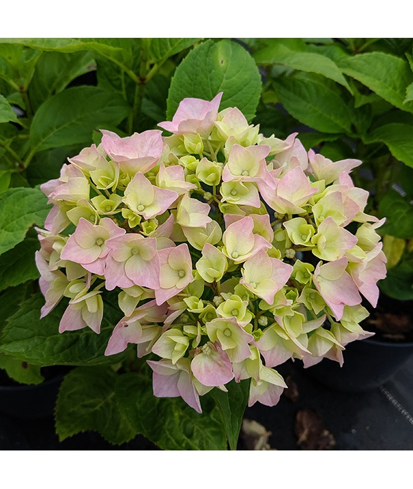 Hydrangea macrophylla Generale Vicomtesse de Vibraye (3lt)