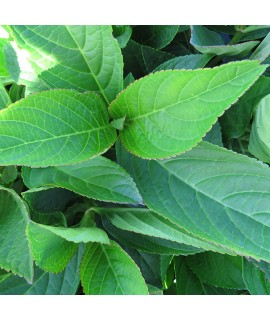 Hydrangea macrophylla Izu-no-hana (3lt)