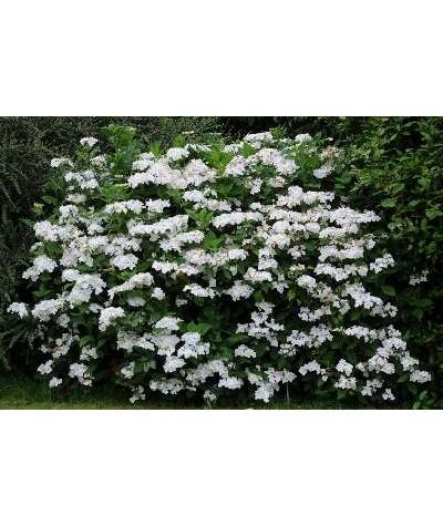 Hydrangea macrophylla Lanarth White (3lt)